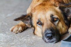 Hund som ligger tillsammans på golvet Arkivfoton