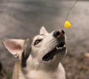 Hund som luktar blomman Arkivfoto