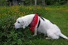 Hund som luktar smörblommor Royaltyfri Foto