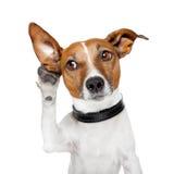 Hund som lyssnar med det stora örat