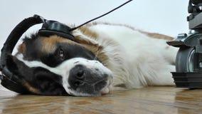 Hund som lyssnar till musik på hörlurar arkivbilder