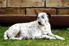 Hund som ner ligger i gården Arkivfoto