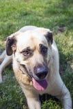Hund som placerar på gräsmattan Arkivfoton
