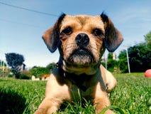 Hund som poserar att ligga på gräset arkivbilder