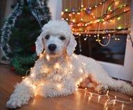 Hund som poserar med julljus Arkivfoto