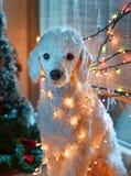 Hund som poserar med julljus Fotografering för Bildbyråer