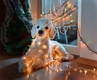 Hund som poserar med julljus Royaltyfria Bilder