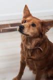 Hund som poserar upp näsan Arkivbild