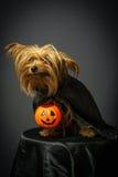 Hund som är förklädd för allhelgonaafton Arkivbilder