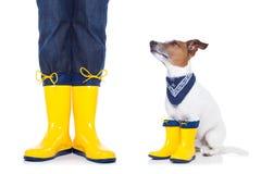 Hund som är klar för en gå i regn Fotografering för Bildbyråer