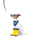Hund som är klar för en gå i regn Arkivbild