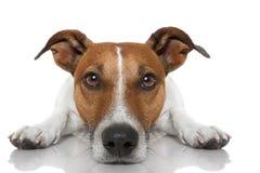 Hund som ser dig Arkivfoto