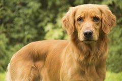 Hund som ser dig Fotografering för Bildbyråer