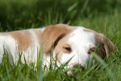 hund som ser dig som är ung Royaltyfria Foton