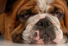 hund som ser ful royaltyfria foton