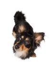 Hund som ser höger Arkivfoton