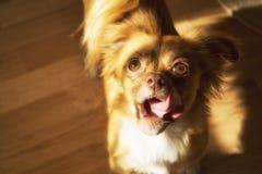 Hund som ser handen med treaten Royaltyfri Fotografi