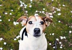 Hund som ser kameran med den körsbärsröda blomman på näsa Royaltyfri Bild