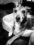 hund som ser SAD royaltyfri fotografi