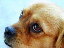 hund som ser SAD Arkivfoton