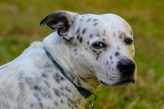 Hund som ser till horisonten, ledset som jagar royaltyfri fotografi