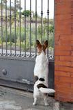 Hund som ser utöver porten Royaltyfri Bild