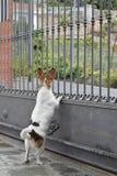 Hund som ser utöver porten Royaltyfri Foto