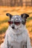 Hund som sitter bärande den ner halsduken Fotografering för Bildbyråer