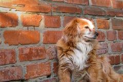 Hund som sitter n?ra tegelstenv?ggen Closeup av byracka f?r hund eller f?r byracka f?r blandningavel en r?d Heml?st ensamt djur s royaltyfri foto
