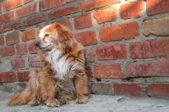 Hund som sitter n?ra tegelstenv?ggen Closeup av byracka f?r hund eller f?r byracka f?r blandningavel en r?d Heml?st ensamt djur s arkivbilder