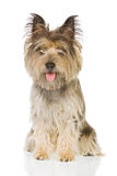hund som sitter upp Royaltyfria Bilder