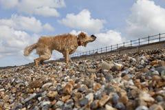 Hund som skakar av vatten på Pebble Beach Royaltyfri Foto