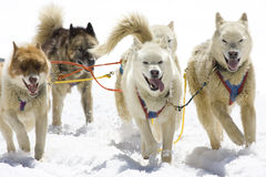 hund som sledding Arkivbilder
