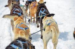 Hund som sledding i Alaska Royaltyfria Bilder