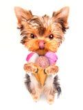 Hund som slickar med glass Fotografering för Bildbyråer