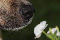 Hund som sniffar blomman Arkivfoto