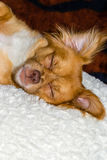 Hund som sovar på kudden Royaltyfri Foto