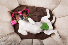 Hund som sover eller vilar Arkivbilder