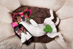 Hund som sover eller vilar Royaltyfri Foto
