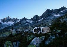 Hund som sover i scenisk bergskedja royaltyfria bilder