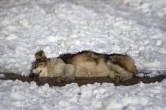 hund som sover i snö royaltyfria bilder