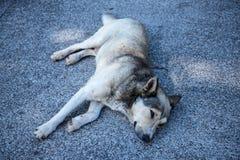 Hund som sover på den exponeringsglas däckade synvinkeln på Cabo Girao nära Camara de Lobos på ön av madeiran Royaltyfria Bilder