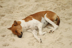 Hund som sover på sand Arkivbild