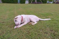 Hund som spelar med benet Fotografering för Bildbyråer