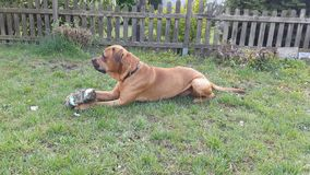 Hund som spelar med bollen i tr?dg?rd i sommaren arkivbild