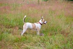 Hund som spelar med en värdsäng Royaltyfria Bilder