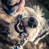 Hund som spelar med repet royaltyfri bild