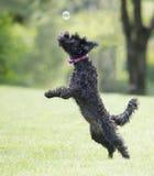 Hund som spelar med såpbubblor Royaltyfri Bild