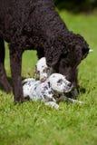 Hund som spelar med valpar Royaltyfri Bild