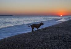 Hund som spelar pinnar i vågor på stranden Royaltyfri Bild